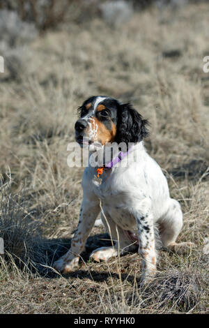 Four-and-a half month old English setter puppy sitting - Stock Photo