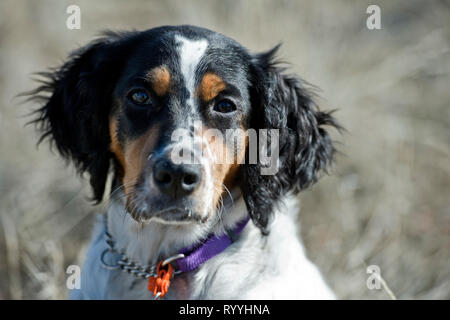 Four-and-a half month old English setter puppy portrat - Stock Photo