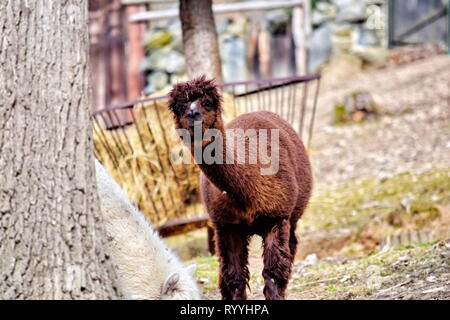 Vicugna Pacos Alpaca Curious Cute Portrait Looking at Camera  Colorful Stock Photo - Stock Photo