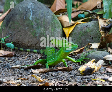 Male Green Basilisk Basiliscus plumifrons side view portrait Costa Rica - Stock Photo