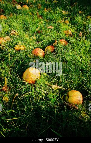 Fallen apples in the grass - Stock Photo