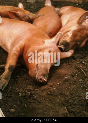 Four little pigs - Stock Photo