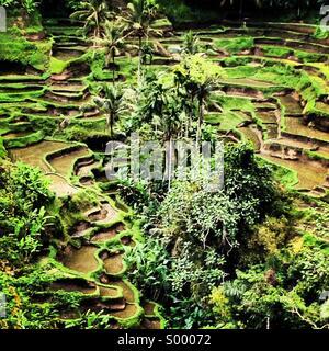 Rice Terraces, Tegalalang, Bali, Indonesia - Stock Photo