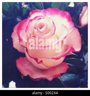 A close-up view of a red and white colored rose flower - Stock Photo