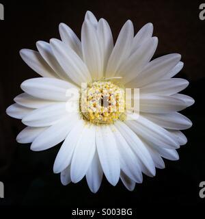 Simple, White Gerbera Daisy - Stock Photo