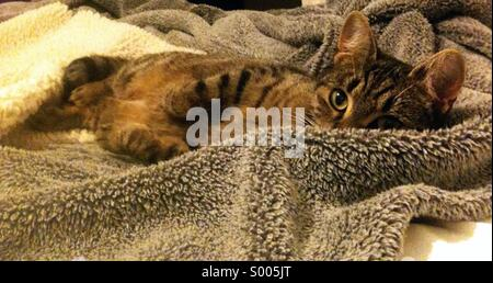 Tabby cat on a furry blanket - Stock Photo