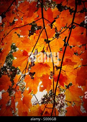 Maple leaves in autumn. Oak Park Illinois. - Stock Photo