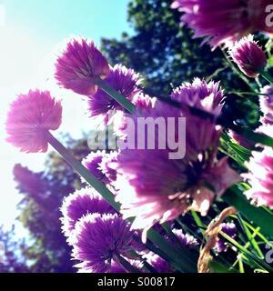 Flowering chives in sunshine - Stock Photo