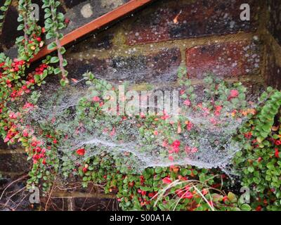 Spider's web on cotoneaster, covered in dew drops. - Stock Photo