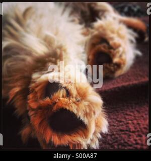 Fluffy paws of a cockerspaniel puppy - Stock Photo
