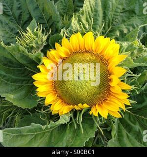 Sunflower, California - Stock Photo