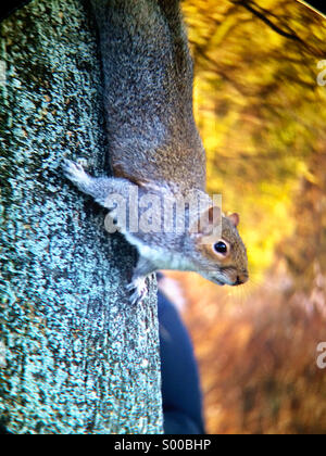 Squirrel in Regent's Park, London - Stock Photo