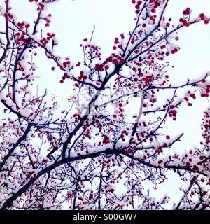 Snow covered ornamental cherry tree. - Stock Photo