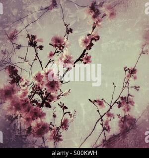 Cherry Blossom - Stock Photo