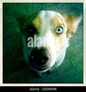 Australian shepherd dog with one bue eye. - Stock Photo