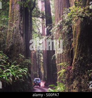 Exploring the giant redwoods of Northern California. - Stock Photo
