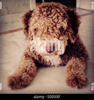 Spanish water dog, perro de agua español - Stock Photo