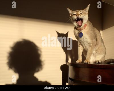 Cat yawning hissing at person seen as shadow - Stock Photo