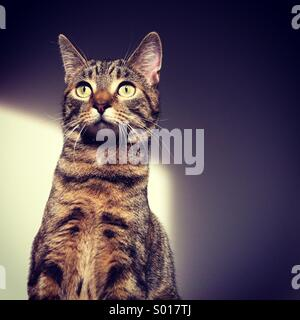 Young, domestic Tabby cat pet sitting beside white wall, with shade and light. - Stock Photo