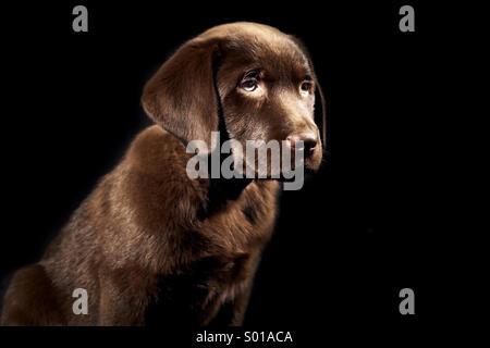 Brown Labrador puppy - Stock Photo