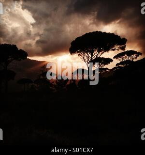 Amazing sunset behind the Pines in the mountains of Lebanon - Middle East - Stock Photo