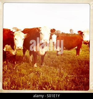 Cows in a field looking towards camera. - Stock Photo