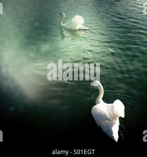Two swans on Lincoln Brayford Pool showing their warning stance, one water dripping from beak charges for the other - Stock Photo