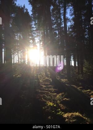 Sunlight shining through pine trees in a forest in Northumberland, England. - Stock Photo
