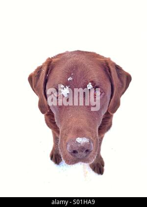 Portrait of chocolate lab in the snow - Stock Photo