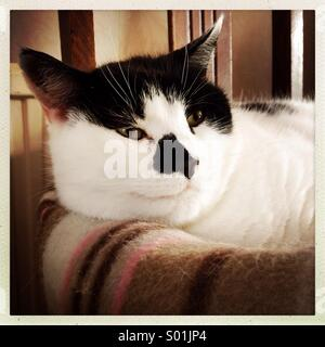 Close up of black and white cat in bed - Stock Photo