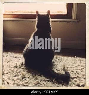 A grey cat looks out of a window - Stock Photo