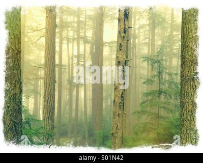 Fog in a forest of fir trees - Stock Photo