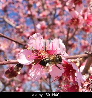 Close up of a bee on a pink almond flower in a clear day. - Stock Photo