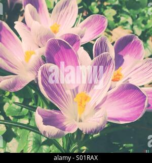 Crocus in Spring - Stock Photo