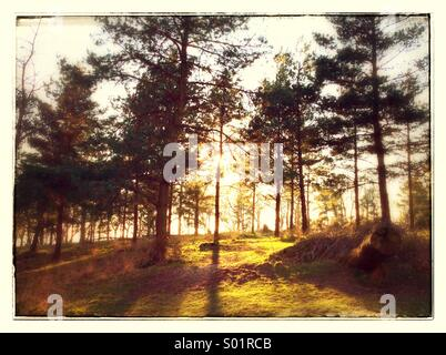 A forest with the sun shining through the trees. - Stock Photo