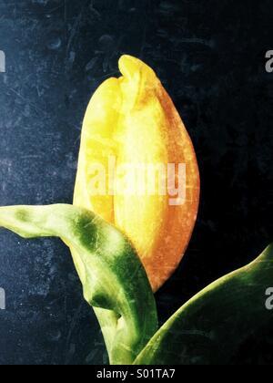 Yellow Tulip - Stock Photo