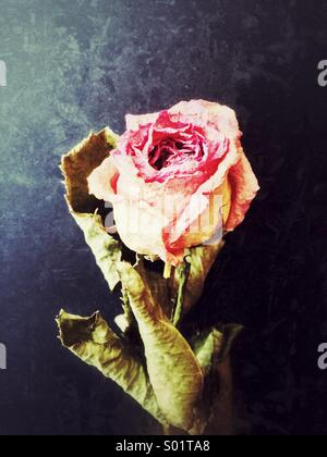 Dried pink rose - Stock Photo