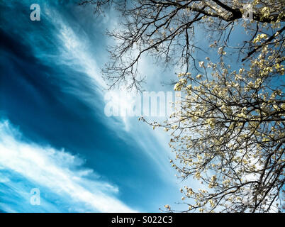 A blue cloudy sky and a blooming tree - Stock Photo