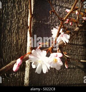 Cherry Blossoms Against Wooden Fence - Stock Photo