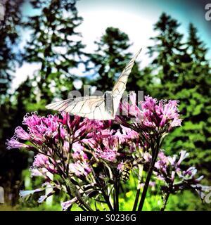 Butterfly on alpine flower - Stock Photo