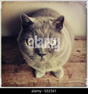 British Short-Haired Blue Cat - Stock Photo