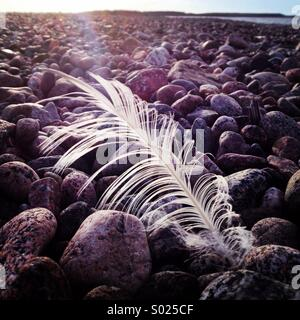 A single while feather in the wind on a Baltic pebbled beach - Stock Photo