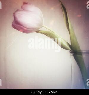 Tulip in glass vase - Stock Photo