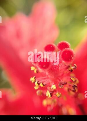Macro of an hibiscus flower. - Stock Photo