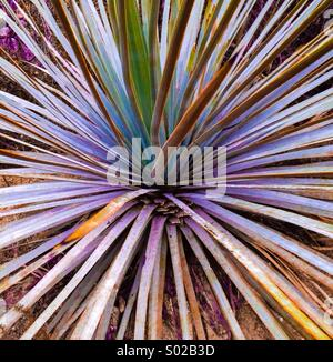 Yucca plant - Stock Photo