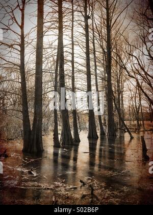 Bald cypress swamp. - Stock Photo