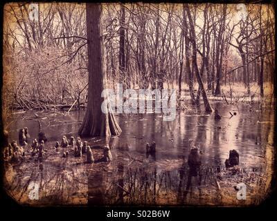 Bald cypress swamp - Stock Photo