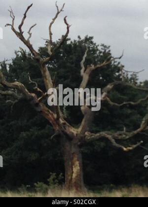 Dead tree on Hampstead Heath - Stock Photo
