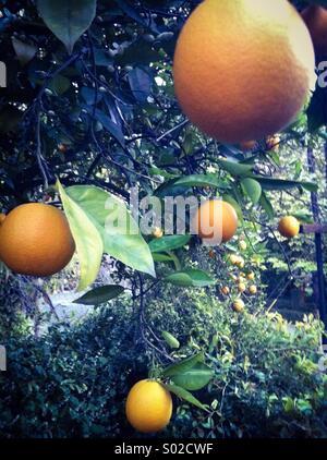 Fresh oranges growing on tree - Stock Photo