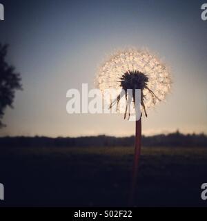 Dandelion Sunset - Stock Photo